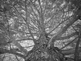 Up the Cypress Tree by labba1