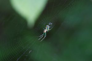 Orchard Orbweaver by BlackRoomPhoto