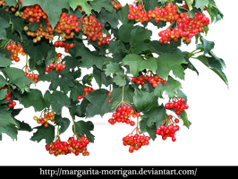 Red viburnum by margarita-morrigan