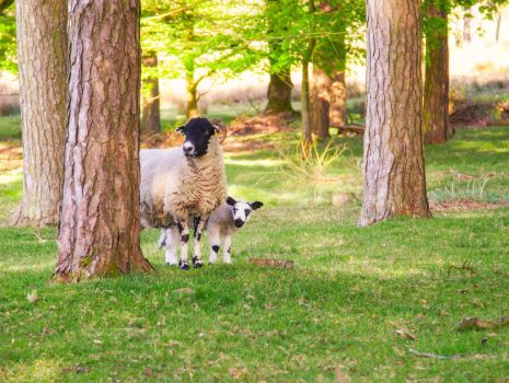 FREE STOCK!! Sheep and Lamb by mzkate