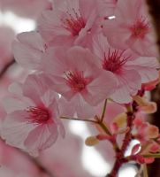 pink cherry flowers 4 by FubukiNoKo