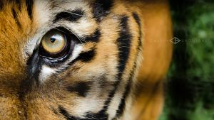 Eye of the Tiger by bukilord