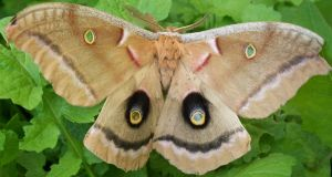 Buckeye Moth A. by Penny-Stock