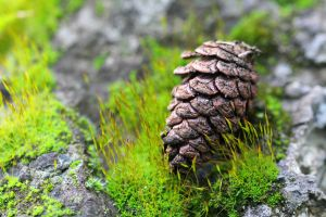 Pine cone by wfpronge