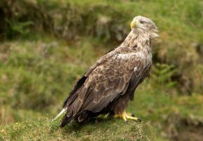 Handsome Dude- White-tailed Eagle by Jamie-MacArthur