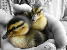 Baby Ducklings by Deathbypuddle