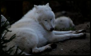 arctic wolf: sooo tired by morho