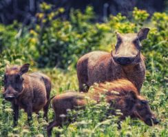 Three little pigs by Darth-Marlan
