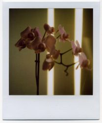 ORCHIDEES by redmonolithe