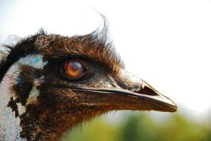 Emu by GONE-EVERLONG