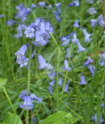 Bluebell by tonks204
