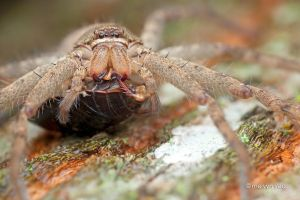 Huntsman Spider with Cockroach prey by melvynyeo