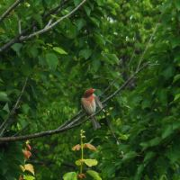 Red Finch 6 by AlissaDStock