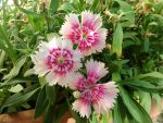 Chinese Carnations Trio by Agus-Xiaolin