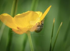 conquering the buttercup... by clochartist-photo