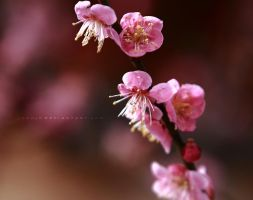 plum blossoms by jyoujo