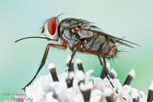 Tachinid fly - Prosenoides flavipes by ColinHuttonPhoto