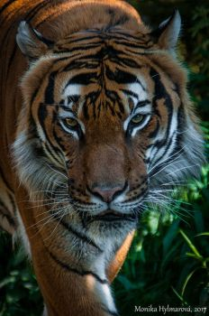 Malayan Tiger by amrodel