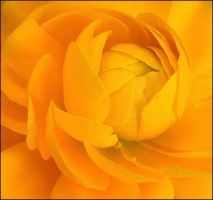 YELLOW RANUNCULUS 3 by THOM-B-FOTO