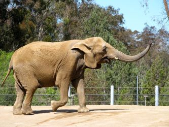 Zoo Elephant by Britstock