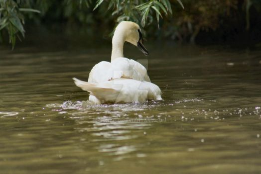 Swan Bathing by Lunapic