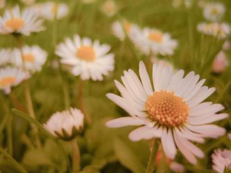 ..daisies.. by lil-dina