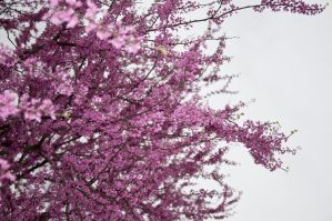 Cherry Blossoms Stock 6 by FairieGoodMother