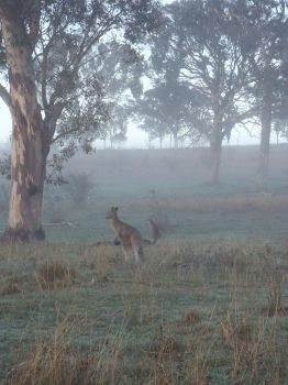 Kangaroo's in the mist by Radmann