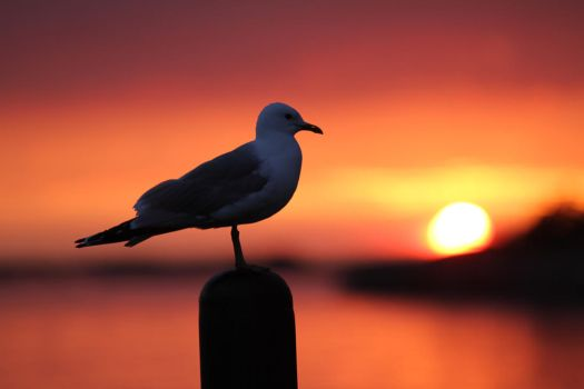 Seagull and sunset by sanniiii