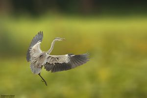 Ardea cinerea by RichardConstantinoff