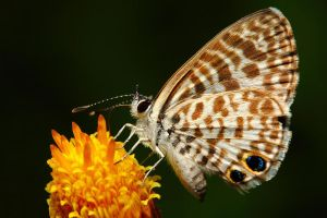 Cassius Blue Butterfly by Japers