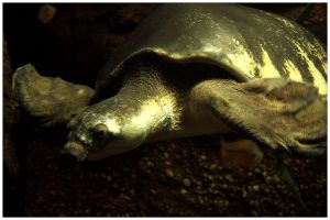 Flying River Turtle by ciseaux