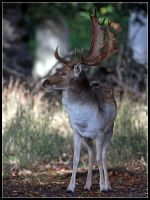 Fallow Stag 3 by cycoze