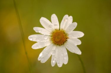 Marguerites tears by greatbelow2