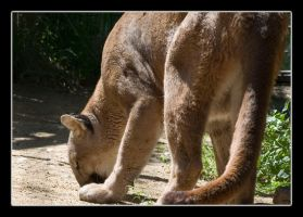 Mountain Lion by Avaryc