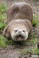 Otter is having a bad day by jaffa-tamarin
