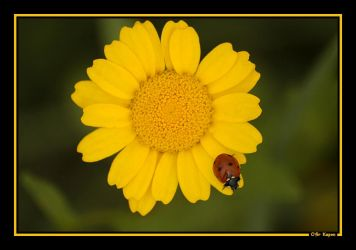 Beautiful Lady Beetle by ofirk