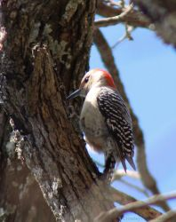 His favorite tree (Red bellied woodpecker) by PhotographerAlexC