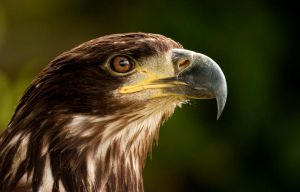 Young Bald Eagle by mansaards