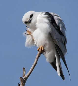 Black-Shouldered Kite 1 by Chezza932