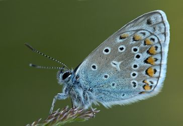 blue butterfly by MartinAmm