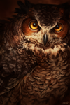 Great Horned Owl by CorvusHound