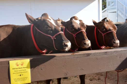 Milking Cow Pen, The Three Looks by Miss-Tbones