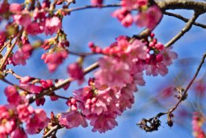 Plum Blossom by falcona