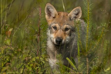 Wolf Pup by linneaphoto