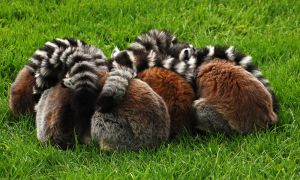 Ring-a-Ring-a-Ring-Tailed. by quaddie