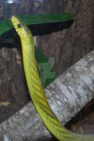 West African Green Mamba 01 by ManitouWolf