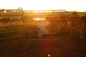 Calfs by theLindah