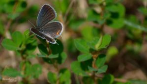 Butterfly Series (Eastern-tailed Blue) by sioranth