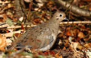 Autumn leaves with  Morning Dove by natureguy